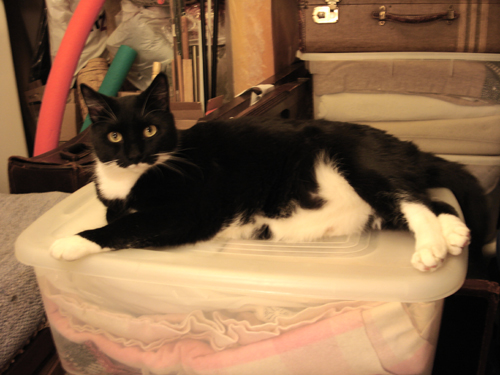 large black and white cat lying on storage tub